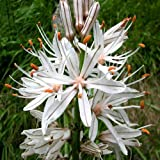 Plant World Seeds - asphodelus Albus Seeds