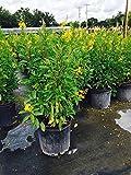PlantVine Galphimia glauca, Gold Shower, Galphimia gracilis, Shower of Gold, Golden Thryallis - Large - 8-10 Inch Pot (3 Gallon), Live Plant