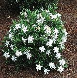 Frost Proof Gardenia (Cape Jasmine) - Live Plant - Quart Pot