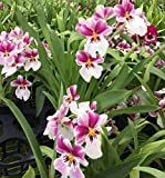 Miltoniopsis Princess Diana orchid, shades of pink with white lip