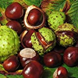 Horse-Chestnut Tree Seeds (Aesculus hippocastanum) 3+ Fresh, Organic Medicinal Horse Chestnut Tree Seeds