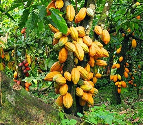 Cacao Plant or Theobroma cacao