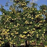 Yellow Trumpet Tree Seeds (Tecoma stans) 25+Seeds