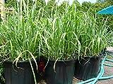 Lemongrass Rootstalk (Cymbopogon Citratus) 2 Live Plants