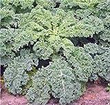 KALE, DWARF SIBERIAN, ORGANIC 100 SEEDS, NON-GMO, GREAT FOR SALADS, STIR FRY
