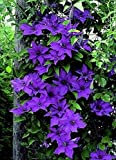 "The President Clematis Vine - Deep Purple - 2.5"" Pot"