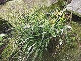 1 Pcs of 0.75 qt Asplenium trichomanes, Common Spleenwort
