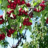 Bing Sweet cherry good for deserts and pies very sweet fruit tree 10 seeds