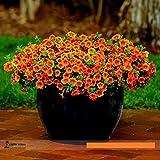 Calibrachoa 'Kabloom Crave Sunset' Vigorous Free-flowering Annual Petunia Seeds, Professional Pack, 100 Seeds