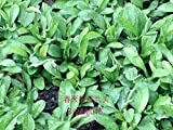 Roots of Chinese Herb(Indian Kalimeris), Malan, 马兰头根, 20 Live Plant Roots