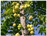 10 Seeds Phyllanthus acidus Otaheite Gooseberry Fruit Tree