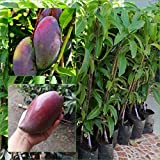 "1 GRAFTED Mango Tree plant Nam-Dok-Mai Si Mueng 18"" Tall Thai Purple Mango Fruit Juicy Direct from Thailand Free Phytosanitary Cert."