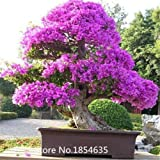 Garden Plant 100 Mix-color Bougainvillea spectabilis tree Seeds bonsai plant flower seeds Blooming Plants Plants Sementes De Flo