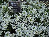 2000 Rockcress Seeds,White ,mat-forming perennial ,Covers Approx 40 square feet