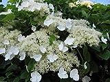 Climbing Hydrangea Seeds (HYDRANGEA anomala Petiolaris) Vine/Climber,Groundcover