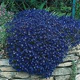 50+ Aubrieta Bright Blue Perennial Flower Seeds / Ground Cover