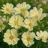 30 seeds of Cosmos Xanthos Flower