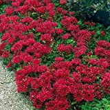 Outsidepride Sedum Summer Glory Ground Cover Plant Seed - 1000 Seeds