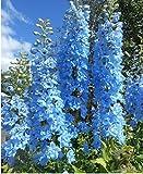 Delphinium consolida The summer sky Flower Seeds from Ukraine