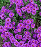 New England Aster Seeds - Packet, Purple Flowers