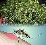 "Mosquito Repelling Creeping Lemon Thyme- Live Plant - Fantastic! - 3"" Pot"