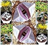 20 Karoo Rose Lapidaria Margaretae - Rare mesembs living rock stome CACTUS cacti Succulent SEEDs - By MySeeds.Co