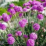 Outsidepride Armeria Maritima Flower Seed - 1000 Seeds