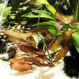 Mainam Nymphaea Rubra Bulb Dwarf Water Lily Live Aquarium Plants Decorations 3 DAY LIVE GUARANTEED By