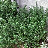 English Thyme Thymus vulgaris live plant 3 plants, to shop for more plant