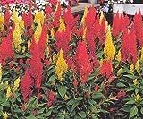Only Heirlooms Celosia Cockscomb Plumosa Mix 200 Seeds Garden Flowers