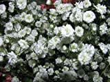 """BABY'S BREATH """"Gypsophila"""" Double Flowered White 25-Perennial Seeds"""