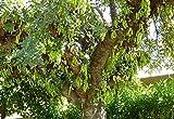 Carob Tree, Ceratonia siliqua, Tree Seeds (Edible, Evergreen) 10