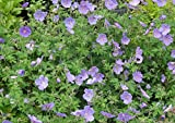 4 Bare Root of Geranium Himalayense 'Irish Blue'