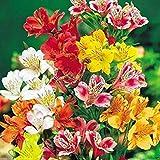 100 Seeds Alstroemeria seeds Peruvian Lily Alstroemeria Inca Bandit Princess lily 5#32797312637ST