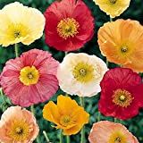 Iceland Poppy Seeds - Mixed Colors - Packet, White/Orange/Yellow Flowers