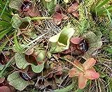 10 CARNIVOROUS PURPLE PITCHER PLANT (Turkish Red / Northern) Sarracenia Purpurea Flower Seeds