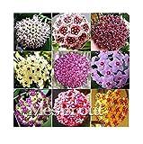 fino shop 100PCS / Bag Hoya kerrii Seed (Hoya kerrii) Family Bonsai Gardening Supplies Variety of Flower Seeds