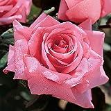 Jackson & Perkins Beautiful Dreamer Hybrid Tea Rose