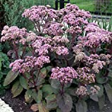 50 Seeds of Sedum telephium 'Matrona' , Stonecrop - Purple leaf Succulent Perennial Pink Broccoli-like flowers
