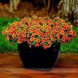 ADB Inc Calibrachoa 'Kabloom Crave Sunset' Vigorous Free-flowering Annual Petunia Seeds, Professional Pack, 100 Seeds / Pack (Calibrachoa 1 Pack)