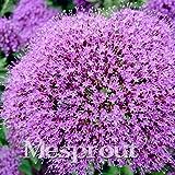 50 seeds Throatwort Trachelium Caeruleum Nectar plants seeds 3 #32694076371ST