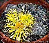 RARE PLEIOSPILOS SIMULANS @j@ succulent mesembs rock living stones seed 20 SEEDS