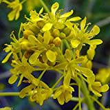 10 Seeds Dyer's Woad Seeds, Isatis Tinctoria ,Asp of Jerusalem, Traditional Chinese Medicine