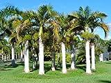 Hyophorbe verschaffeltii | Spindle Palm | 10_Seeds