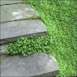 Kenilworth Ivy Seeds (Cymbalaria Muralis) 200+Seeds