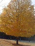 (2 plants) Ginkgo Trees Unusual Leaf , Ginkgo Tree Unusual Leaf, Great Yellow Fall Color, Historical Tree & a Beauty,