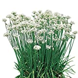 Burpee Garlic Organic Chives Seeds 300 seeds
