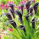 Seeds Shopp Flower Seeds 100 PCS Black Calla Lily Bonsai Seed, Rare Plants Flowers Home Gardening DIY Garden Supplies