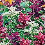 "Ukrainian Organic Flower seeds Salvia Horminum ""Tricolor Mix"" - 100 seeds."