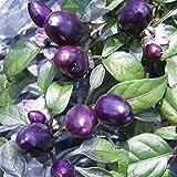 10 Hot Pepper Seeds 'Peruvian Purple Chile,Capsicum frutescen - from Peru, Mild
